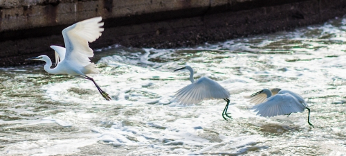 Three egrets on the rapids of the inlet to Xiamen's Yundang Inner Lake.