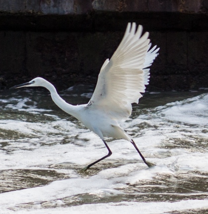 An egret on the rapids at the inlet to Xiamen's Yundang Inner Lake.