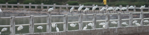 Egrets lined up to swoop for fish in the rapids at the inlet to Xiamen's Yundang Inner Lake.